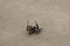 Μικρές μύγες τροφίμων Εργάσιμες μέρες στον κόσμο των εντόμων στοκ εικόνες