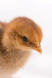 Μικρές νεολαίες λίγο καφετί κοτόπουλο πέρα από το άσπρο υπόβαθρο Στοκ Φωτογραφίες