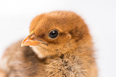 Μικρές νεολαίες λίγο καφετί κοτόπουλο που απομονώνεται πέρα από το άσπρο υπόβαθρο Στοκ Εικόνες