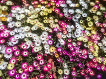 Μικρές τουλίπες για τη διακόσμηση Στοκ Φωτογραφία
