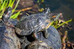 Μικρές χελώνες στο νερό στοκ φωτογραφίες