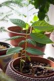 Μικρές cherimoya σε δοχείο εγκαταστάσεις στοκ εικόνες