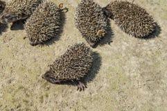 Μικρή άγρια ομάδα σκαντζόχοιρων σχετικά με το έδαφος στοκ φωτογραφία
