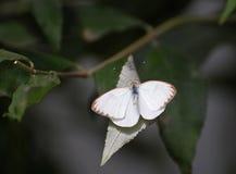 Μικρή άσπρη πεταλούδα με τα καφετιά ακονισμένα φτερά Στοκ εικόνα με δικαίωμα ελεύθερης χρήσης