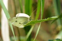 Μικρή άσπρη πεταλούδα Στοκ φωτογραφία με δικαίωμα ελεύθερης χρήσης