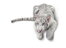 Μικρή άσπρη τίγρη Στοκ φωτογραφία με δικαίωμα ελεύθερης χρήσης