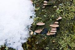 Μικρή ανάπτυξη μανιταριών στο παλαιό δέντρο Χιόνι στο χρόνο άνοιξη στο παλαιό τ Στοκ εικόνες με δικαίωμα ελεύθερης χρήσης