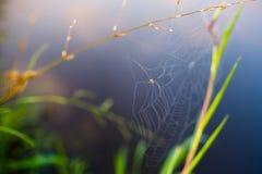 Μικρή αράχνη που καθιστά τον Ιστό στις λεπίδες χλόης μακρο στοκ εικόνες