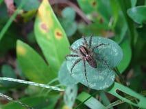 μικρή αράχνη Στοκ Εικόνες