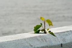 Μικρή αυξανόμενη μόνη μορφή εγκαταστάσεων που ραγίζεται στο τσιμεντένιο φράγμα εκτός από τον ποταμό στοκ εικόνες με δικαίωμα ελεύθερης χρήσης