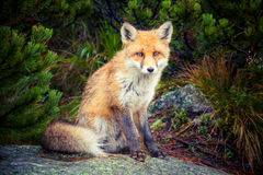 Μικρή αλεπού στη φύση Στοκ Φωτογραφία