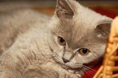 Μικρή βρετανική συνεδρίαση γατών γατακιών στο καλάθι Στοκ Φωτογραφίες