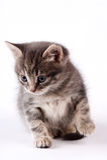 Μικρή γάτα Στοκ Εικόνες