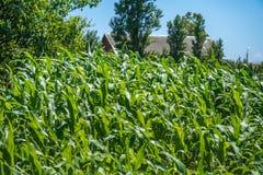 Μικρή γεωργία τομέων καλαμποκιού πράσινη φύση Αγροτική γεωργική γη στο s Στοκ Εικόνα