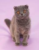 Μικρή γκρίζα συνεδρίαση πτυχών γατακιών σκωτσέζικη Στοκ Φωτογραφίες