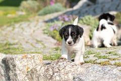 Μικρή γοητεία Jack Russell 7,5 εβδομάδες ηλικίας παλαιού κουτάβι σκυλιών που στέκεται υπαίθριο στον κήπο το καλοκαίρι στοκ εικόνα