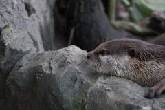 μικρή γρατσουνημένη ενυδρίδα που στηρίζεται στο βράχο Στοκ Φωτογραφία