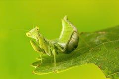 Μικρή επίκληση Mantis Στοκ Φωτογραφία