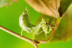 Μικρή επίκληση Mantis Στοκ φωτογραφίες με δικαίωμα ελεύθερης χρήσης