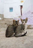 Μικρή διαβίωση γατών ελεύθερη στις οδούς Tetouan, Μαρόκο Στοκ Εικόνα