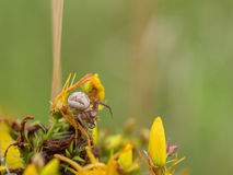 Μικρή διαγώνια αράχνη στα κίτρινα λουλούδια Στοκ εικόνες με δικαίωμα ελεύθερης χρήσης