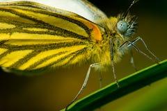 Μακροεντολή Pieris melete ï ¼ Butterflyï ¼ στοκ φωτογραφίες με δικαίωμα ελεύθερης χρήσης