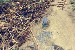 Μικρή και χαριτωμένη μπλε συνεδρίαση πεταλούδων σε μια πέτρα Στοκ Εικόνα