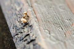 Μικρή καφετιά μακροεντολή εργαζομένων μυρμηγκιών Στοκ Φωτογραφία
