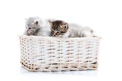 Μικρή καφετιά ριγωτή χνουδωτή μπλε-eyed συνεδρίαση γατακιών μεταξύ άλλων χαριτωμένων γκρίζων γατακιών στο άσπρο ψάθινο καλάθι θέτ Στοκ εικόνα με δικαίωμα ελεύθερης χρήσης