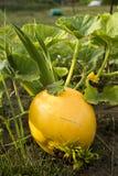 Μικρή κολοκύθα στο φυτικό κήπο στην κορυφογραμμή στοκ εικόνα με δικαίωμα ελεύθερης χρήσης