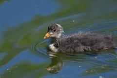 Μικρή κολύμβηση φαλαρίδων Στοκ εικόνα με δικαίωμα ελεύθερης χρήσης