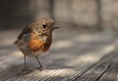 Μικρή κόκκινη συνεδρίαση του Robin σε έναν πίνακα μισό στη σκιά στοκ εικόνα