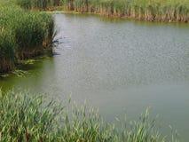 Μικρή λίμνη του ύδατος με τα bulrushes. Στοκ Φωτογραφία
