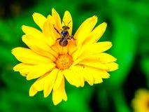 Μικρή μέλισσα μελιού που σκαρφαλώνει στο κίτρινο άγριο λουλούδι Στοκ φωτογραφία με δικαίωμα ελεύθερης χρήσης