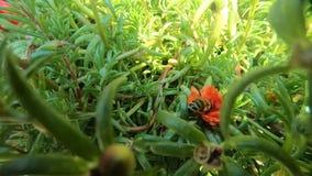 Μικρή μέλισσα που ωθεί και που προσπαθεί να συλλέξει τη γύρη στο κόκκινο λουλούδι απόθεμα βίντεο
