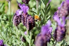 Μικρή μέλισσα που συλλέγει το νέκταρ από lavender Στοκ Εικόνες