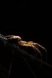 Μικρή μακροεντολή κανθάρων λίγη αράχνη Στοκ Εικόνες