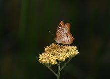 Μικρή μαργαριτάρι-οριοθετημένη fritillary πεταλούδα Στοκ Εικόνα