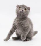 Μικρή μπλε συνεδρίαση πτυχών γατακιών σκωτσέζικη που ανατρέχει Στοκ Εικόνα