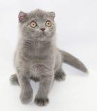 Μικρή μπλε συνεδρίαση πτυχών γατακιών σκωτσέζικη που ανατρέχει Στοκ φωτογραφία με δικαίωμα ελεύθερης χρήσης