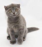 Μικρή μπλε συνεδρίαση πτυχών γατακιών σκωτσέζικη που κοιτάζει αγωνιωδώς προς Στοκ φωτογραφία με δικαίωμα ελεύθερης χρήσης