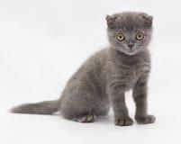 Μικρή μπλε συνεδρίαση πτυχών γατακιών σκωτσέζικη, που κοιτάζει επίμονα δυστυχώς Στοκ Φωτογραφίες