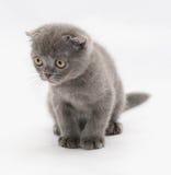 Μικρή μπλε συνεδρίαση πτυχών γατακιών σκωτσέζικη που κοιτάζει κάτω Στοκ εικόνα με δικαίωμα ελεύθερης χρήσης