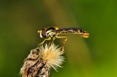 Μικρή μύγα στο ξηρό λουλούδι χηρών Στοκ Φωτογραφία