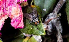 Μικρή μύγα στο πράσινο φύλλο στοκ φωτογραφίες με δικαίωμα ελεύθερης χρήσης