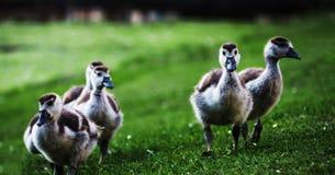 Μικρή οικογένεια των αγριοχήνων Στοκ εικόνα με δικαίωμα ελεύθερης χρήσης