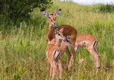 Μικρή οικογένεια των impalas Tarangire, Τανζανία Στοκ Φωτογραφίες