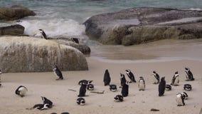 Μικρή ομάδα ή waddle αφρικανικών penguins απόθεμα βίντεο