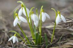Μικρή ομάδα primroses snowdrops στο έδαφος στο δάσος Στοκ φωτογραφία με δικαίωμα ελεύθερης χρήσης