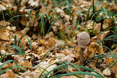 Μικρή ομπρέλα μανιταριών Στοκ φωτογραφία με δικαίωμα ελεύθερης χρήσης